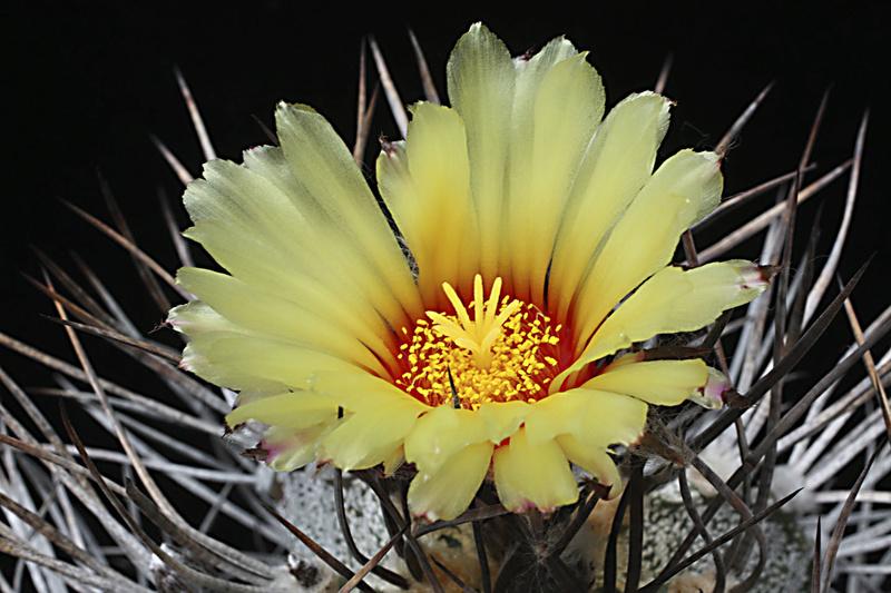 Astrophytum capricorne var. niveum Img_0612