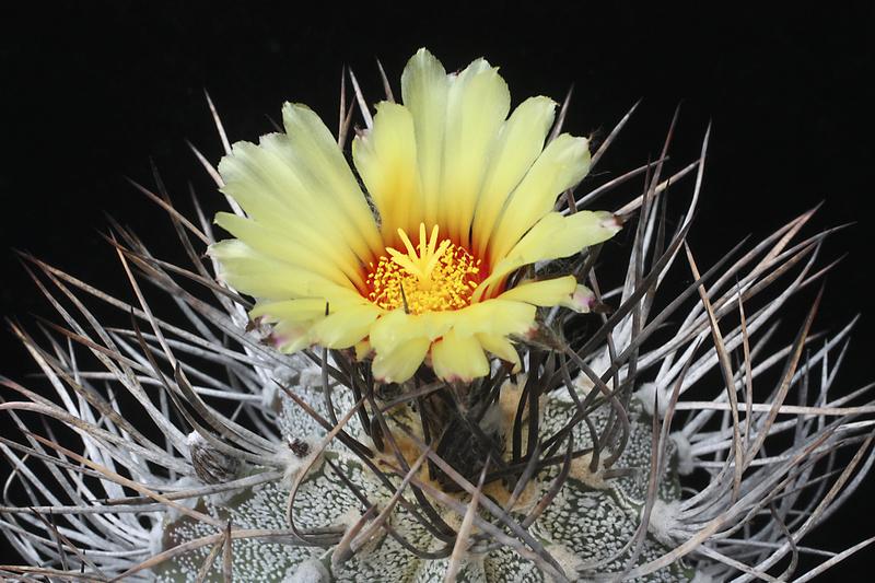 Astrophytum capricorne var. niveum Img_0613