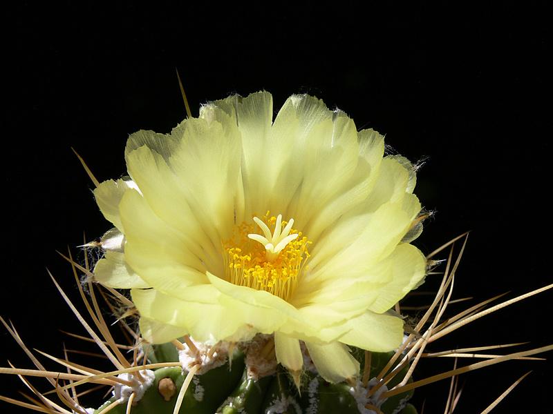 Astrophytum ornatum P1000710