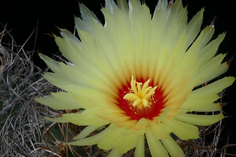 Astrophytum capricorne var. aureum P1070710