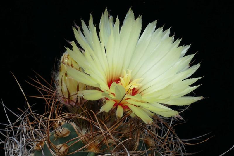 Astrophytum capricorne var. aureum P1070711
