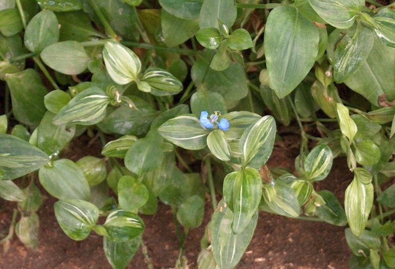 Commelina benghalensis - herbe à cochon Hpim4812