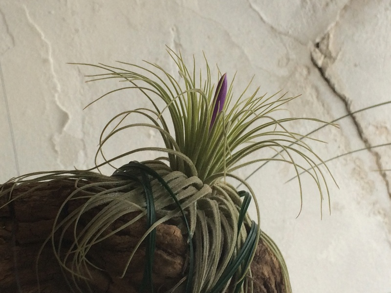 Les Plantes de Galatéa Img_0013