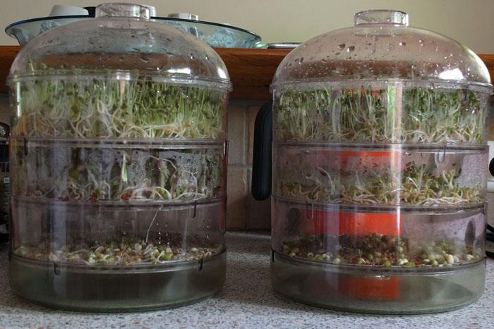 Les graines germées pour les nuls Graine18