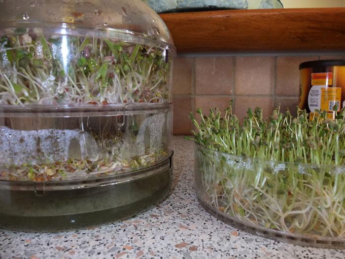 Les graines germées pour les nuls Popote14