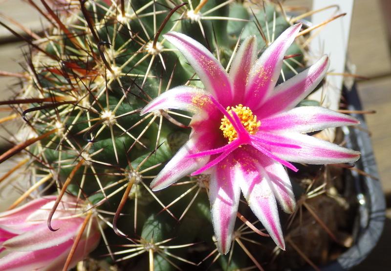 M. mainiae in bloom Fm_00014