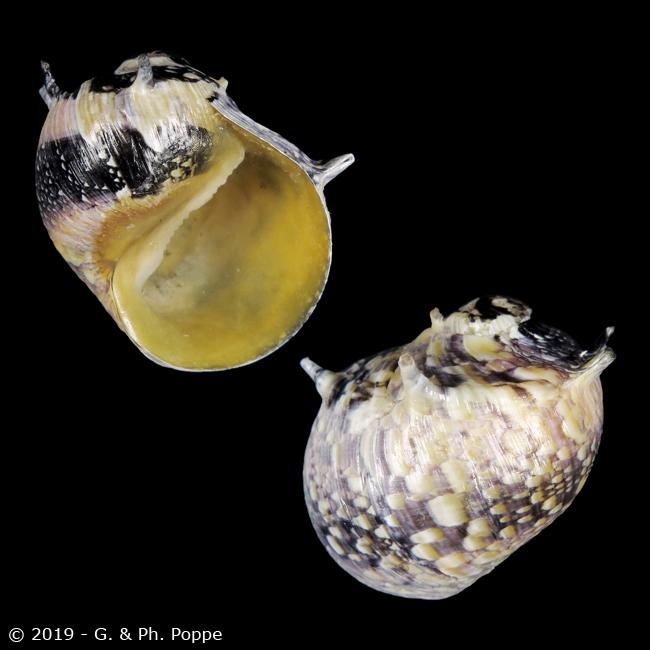Clithon spiniferum (Récluz, 1842) Clitho11