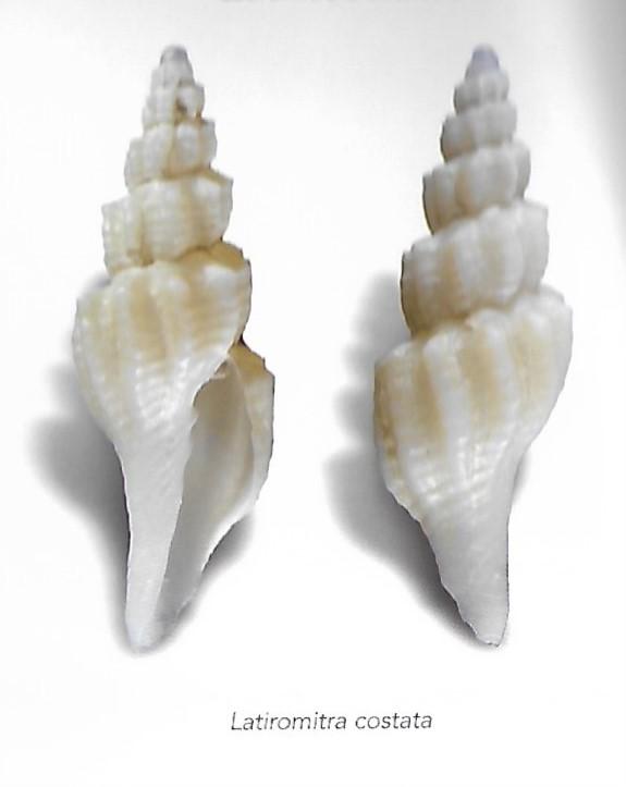 Costellariidae mille quoi ? Latiro10