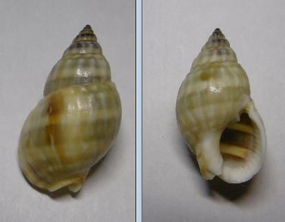 Nassarius distortus (A. Adams, 1852)  Nassa_10