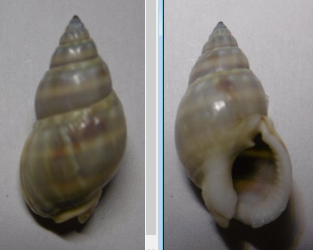 Nassarius distortus (A. Adams, 1852)  Nassa_11