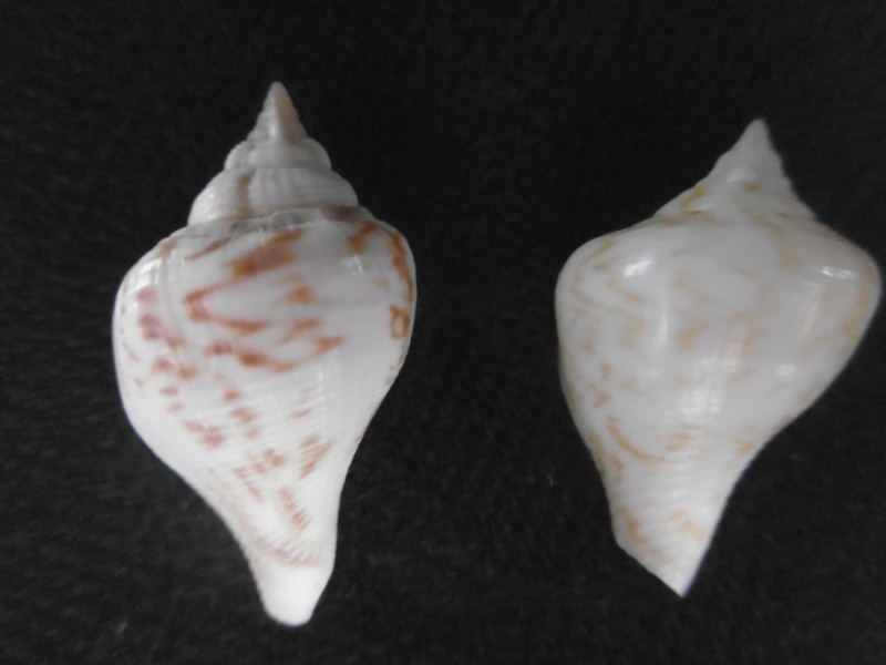 Strombus gibberulus gibberulus juvénile P1000528