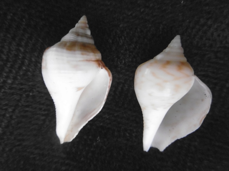 Strombus gibberulus gibberulus juvénile P1000529
