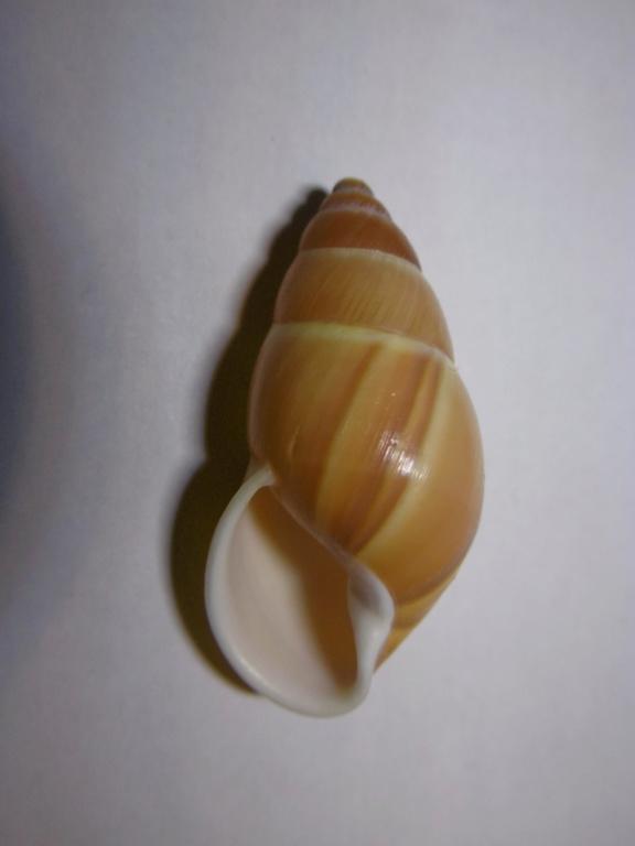 Amphidromus basilanensis (Bartsch,1917) P1000717
