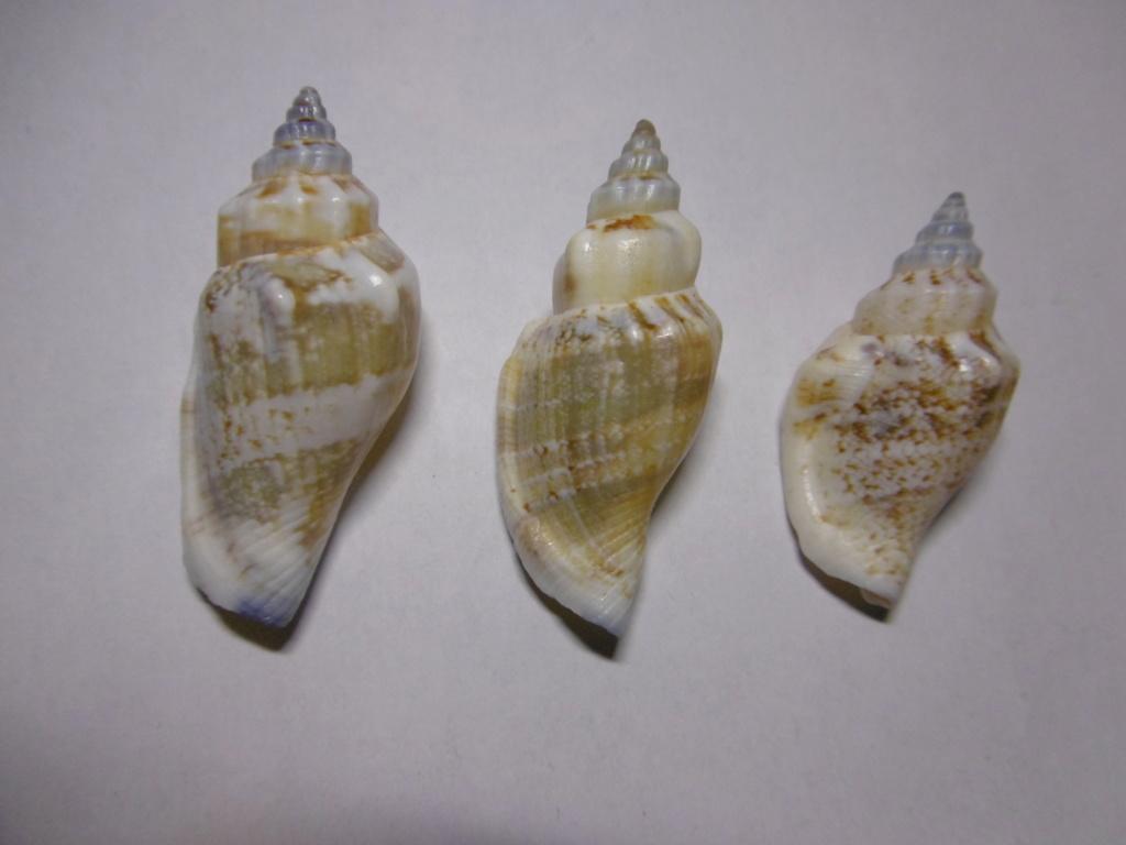 Canarium_urceus_(Linnaeus_1758) P1000721