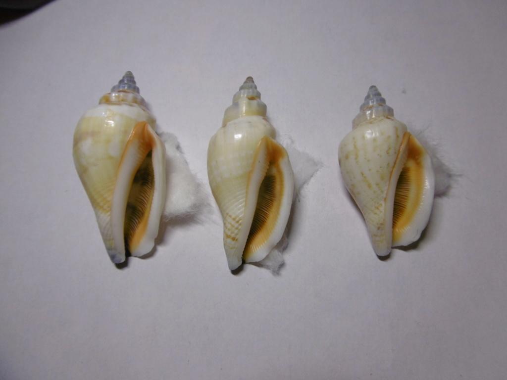 Canarium_urceus_(Linnaeus_1758) P1000722