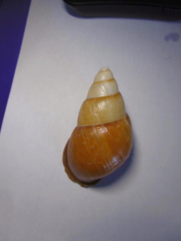 Chrysallis aspersa ou rollei ???? ou autre... P1000732