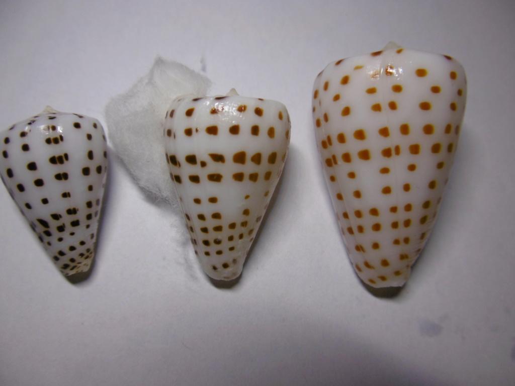 Conus_eburneus  P1010225