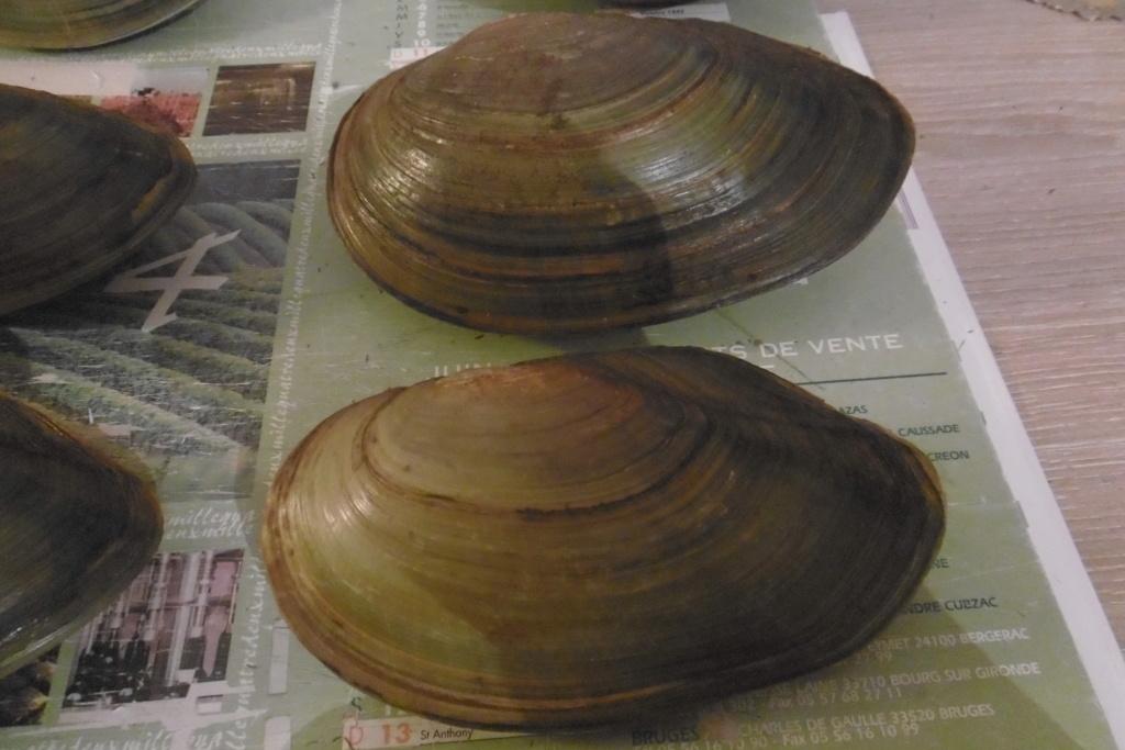 Anodonta cygnea ou anodonta anatina??? P1010313