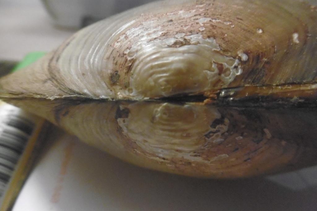 Anodonta cygnea ou anodonta anatina??? P1010315