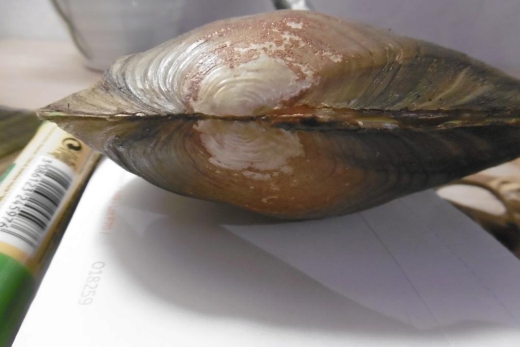 Anodonta cygnea P1010316