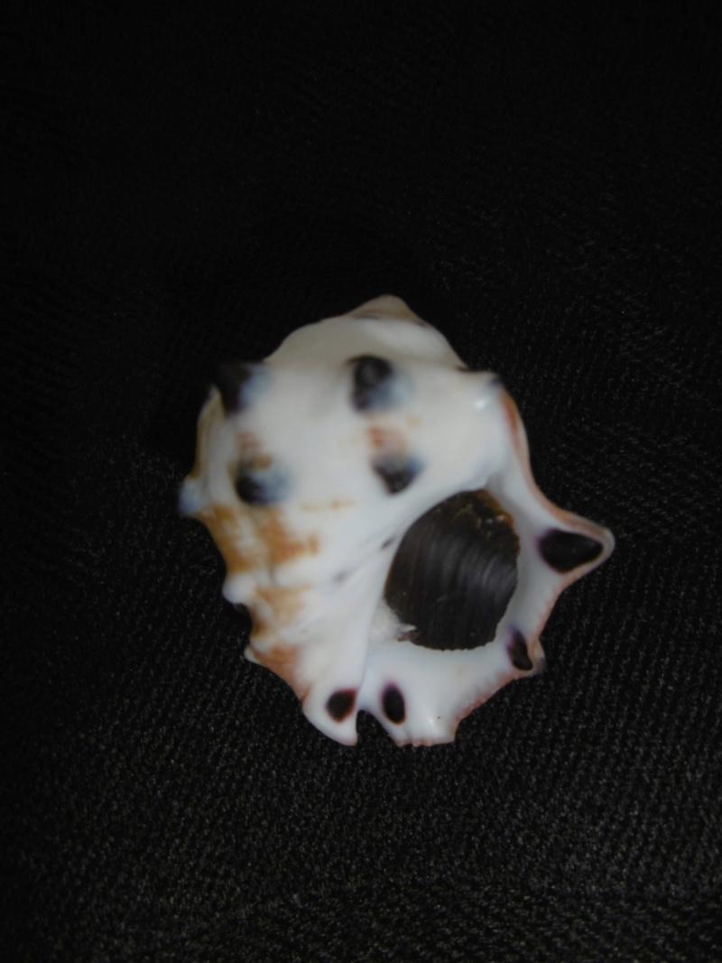 Menathais bimaculata P1010413