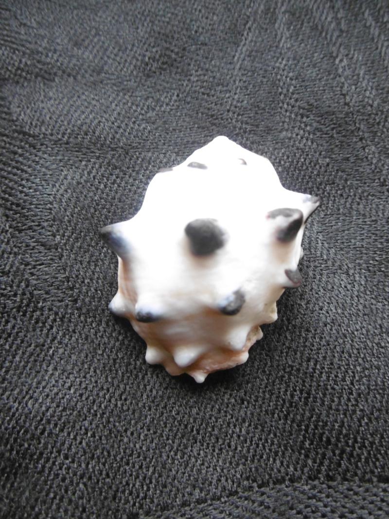 Menathais bimaculata P1010415