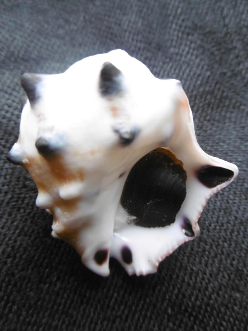 Menathais bimaculata P1010416
