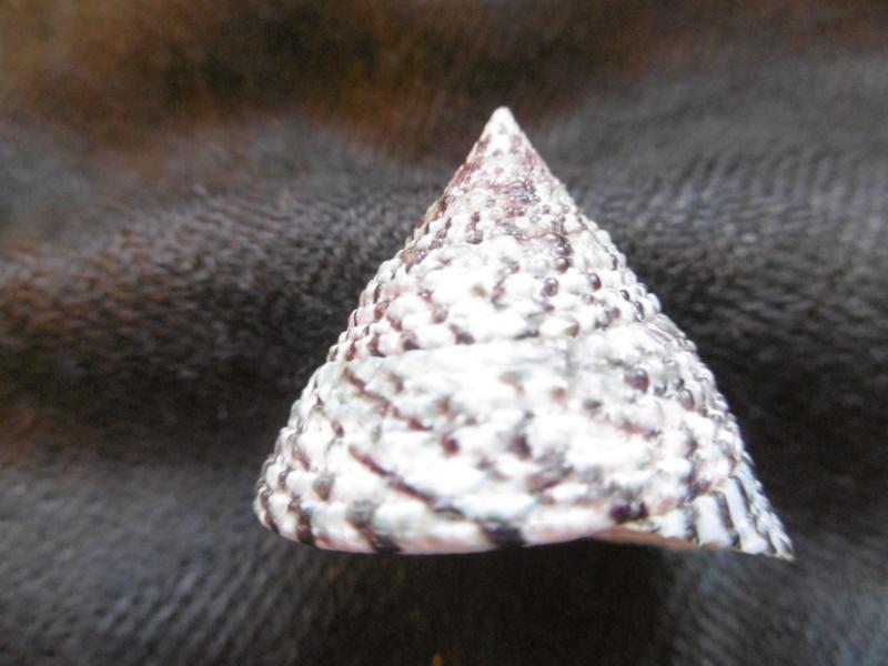 Trochus maculatus P1010425