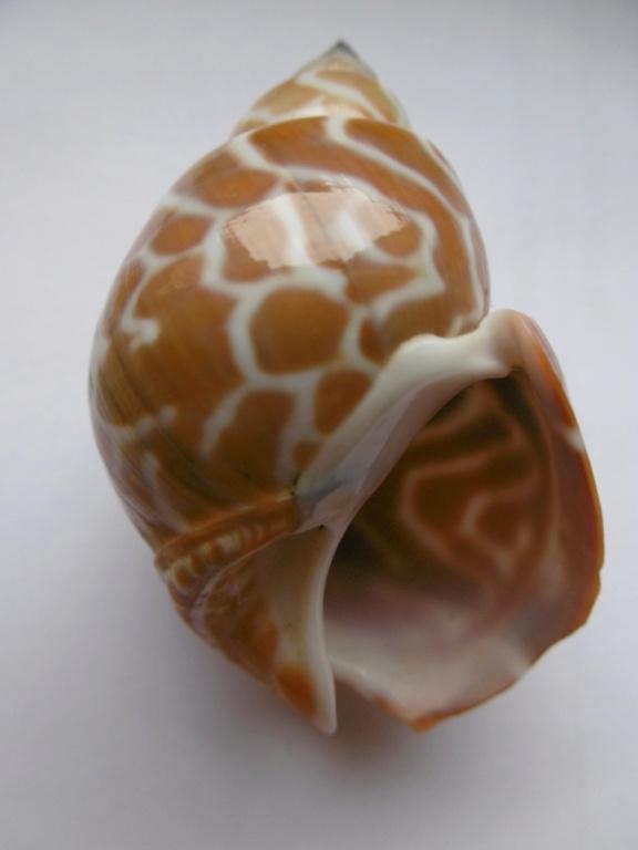 Babylonia spirata - (Linnaeus, 1758) P1010434
