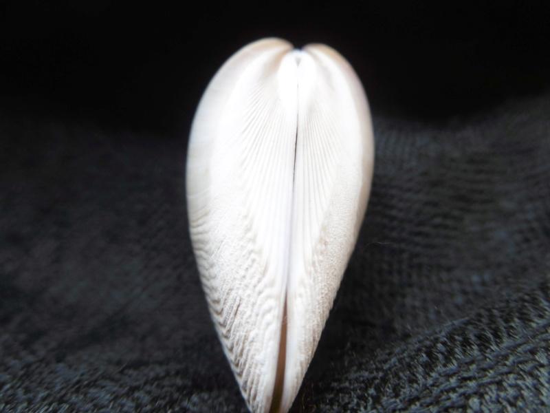 Austromactra rufescens (Lamarck, 1818) P1010514