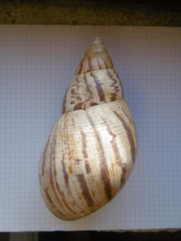 Achatina achatina (Linnaeus, 1758) P1010711