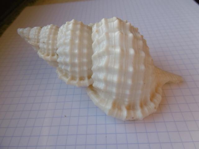 Ranella olearium (Linnaeus, 1758) ??? P1010713