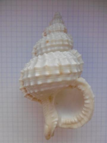 Ranella olearium (Linnaeus, 1758) ??? P1010714