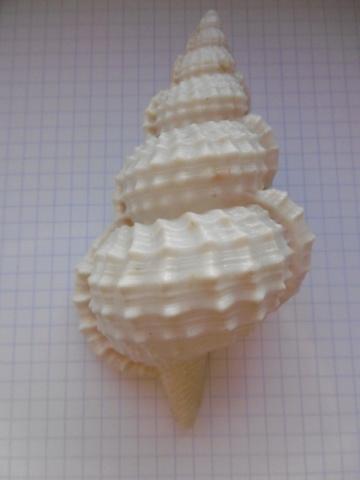 Ranella olearium (Linnaeus, 1758) ??? P1010715