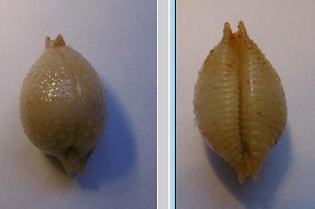 Pustularia_cicercula_(Linnaeus_1758) Pustul10