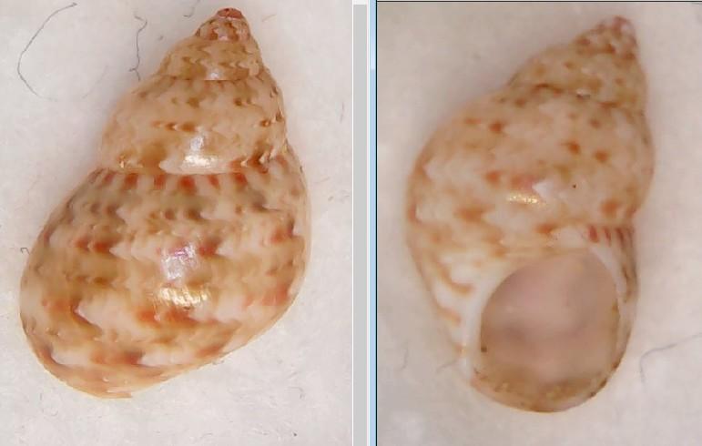 Tricolia tenuis   Sans_t10
