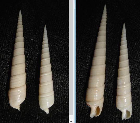 Terebra cingulifera - Lamarck, 1822 Terebr11