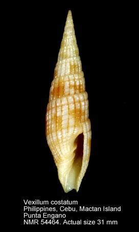 Costellariidae mille quoi ? Vexill10