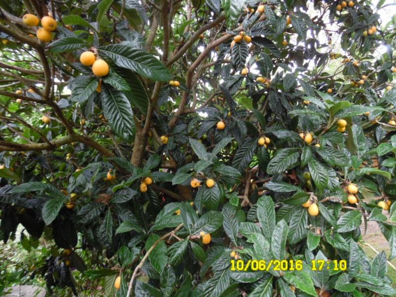 Eriobotrya japonica - bibacier, néflier du Japon - Page 3 Sam_0653