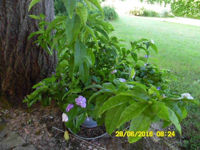 Plantes parfumées 2016 - Page 2 Sam_0721