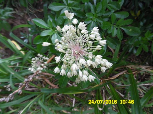 Allium cernuum 'Green Eyes' [identification] Sam_0781