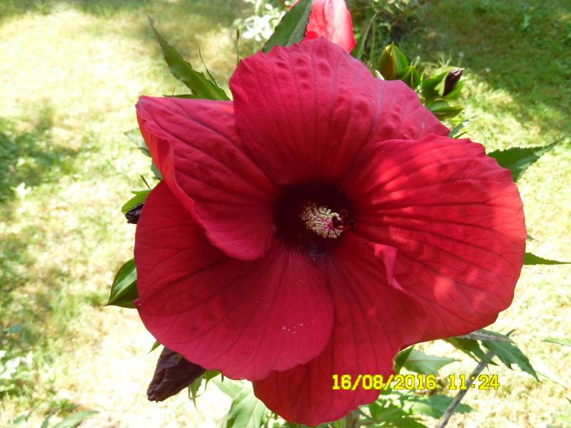Hibiscus coccineus - Page 2 Sam_0821