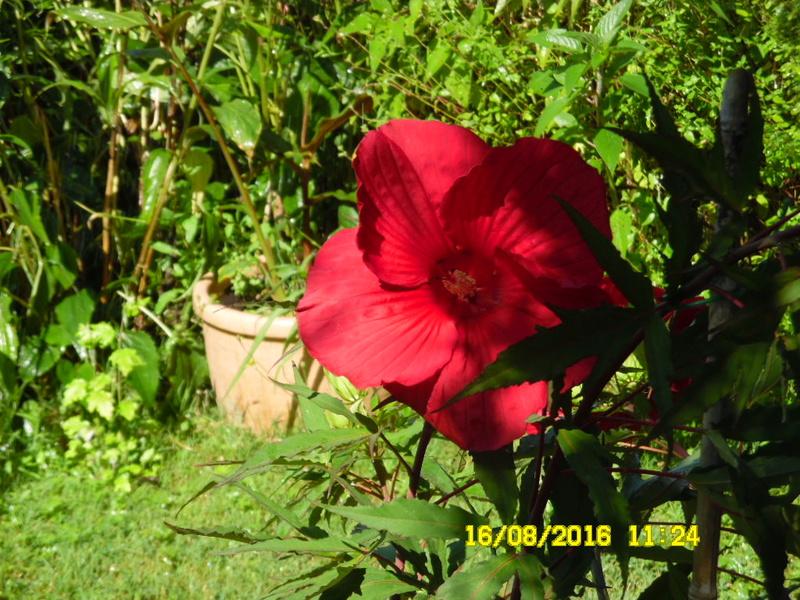 Hibiscus coccineus - Page 2 Sam_0822