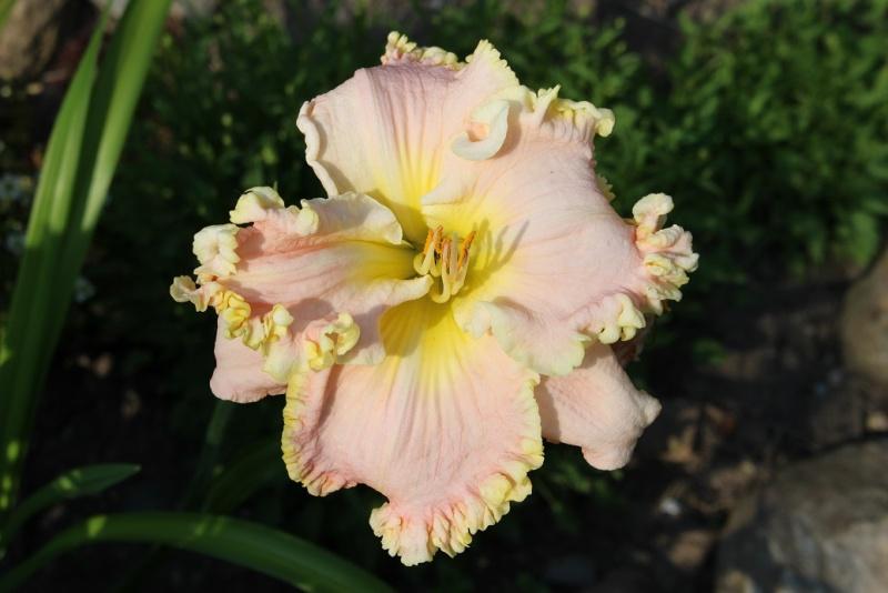 Hemerocallis - des variétés - Page 4 Hemero10