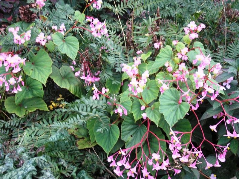 Begonia grandis subsp. evansiana Pa050010