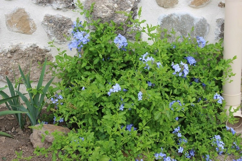 Plumbago capensis = Plumbago auriculata - dentelaire du Cap - Page 2 Plumba11