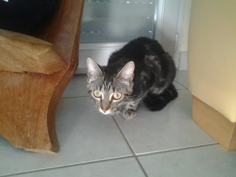 Leila - Leïla - Femelle tigrée - Type européen née en Août 2015 20160825