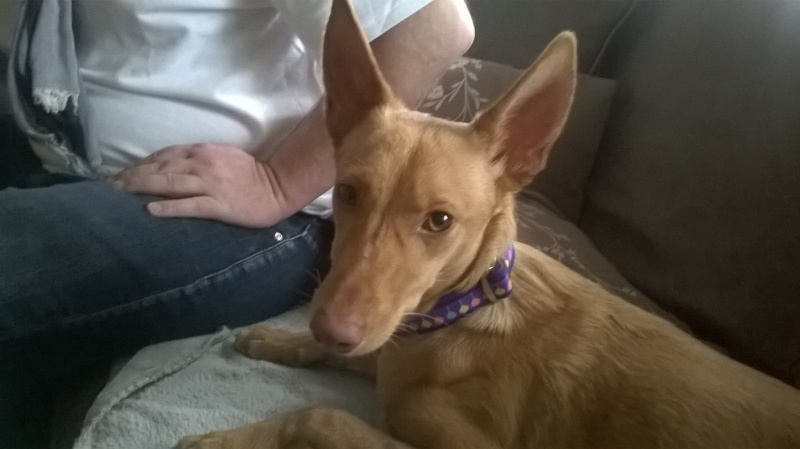 Jana - Podenca 7 mois - Dossier d'adoption en cours 13405011