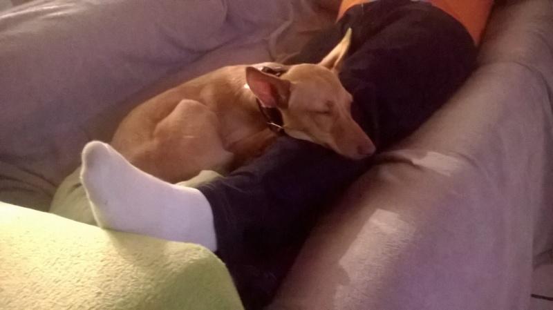 Jana - Podenca 7 mois - Dossier d'adoption en cours 13453411