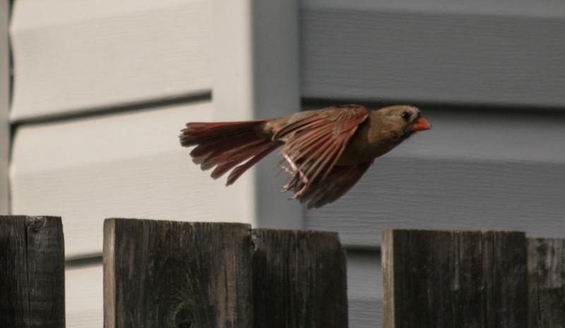 Cardinal en vol Cardin10